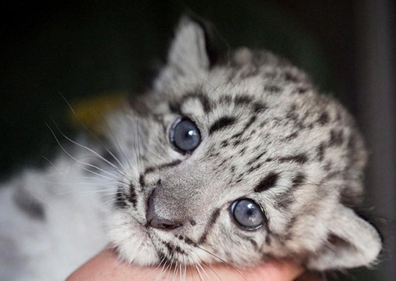 BabyBigCats15 Котята хищных кошек такие мимими