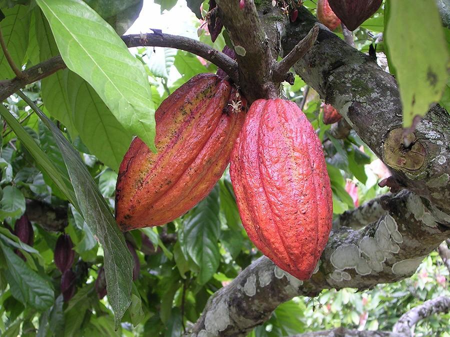chocofacts01 25 «вкусных» фактов о шоколаде
