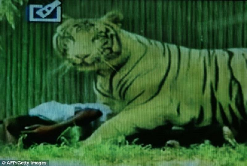 Singapore Zoo The REAL DEADLY White Tiger Attack Video