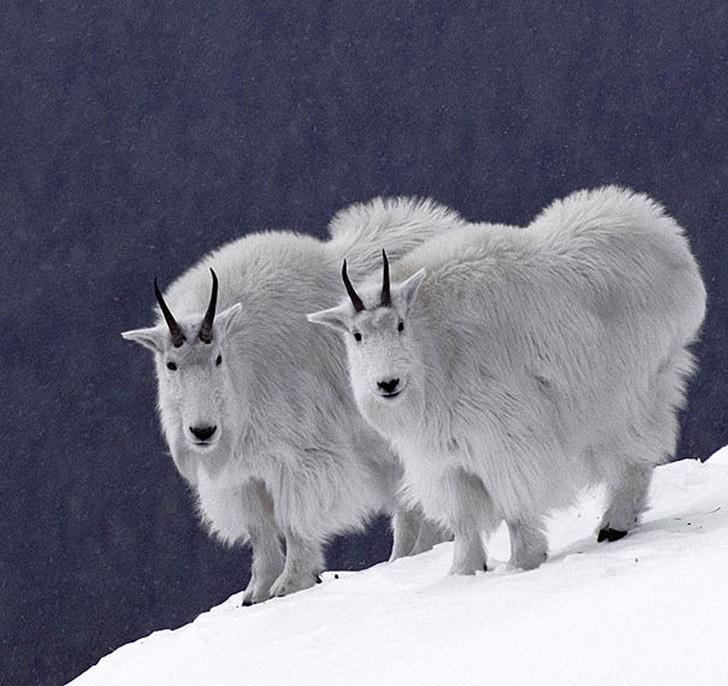 AnimalTwins07 25 животных близнецов, которые не оставят вас равнодушными