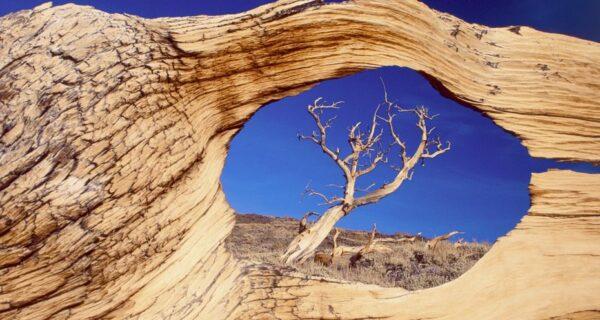 Деревья, которых боится само время: самой старой из Бристлеконских сосен более 4,7 тысячлет