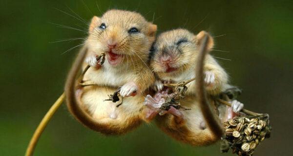 В объективе — мышки-малютки