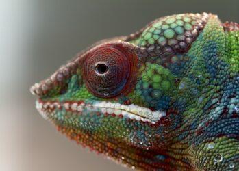 chameleons08
