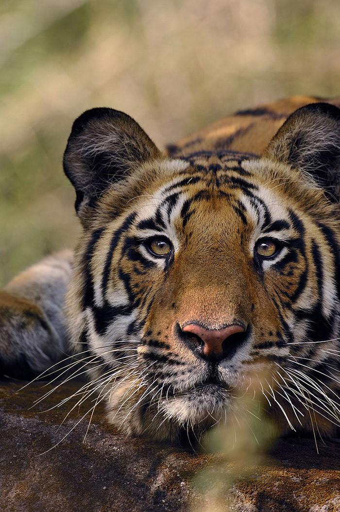 declinedanimals05 10 видов животных, которых за 40 лет стало в два раза меньше по вине человека