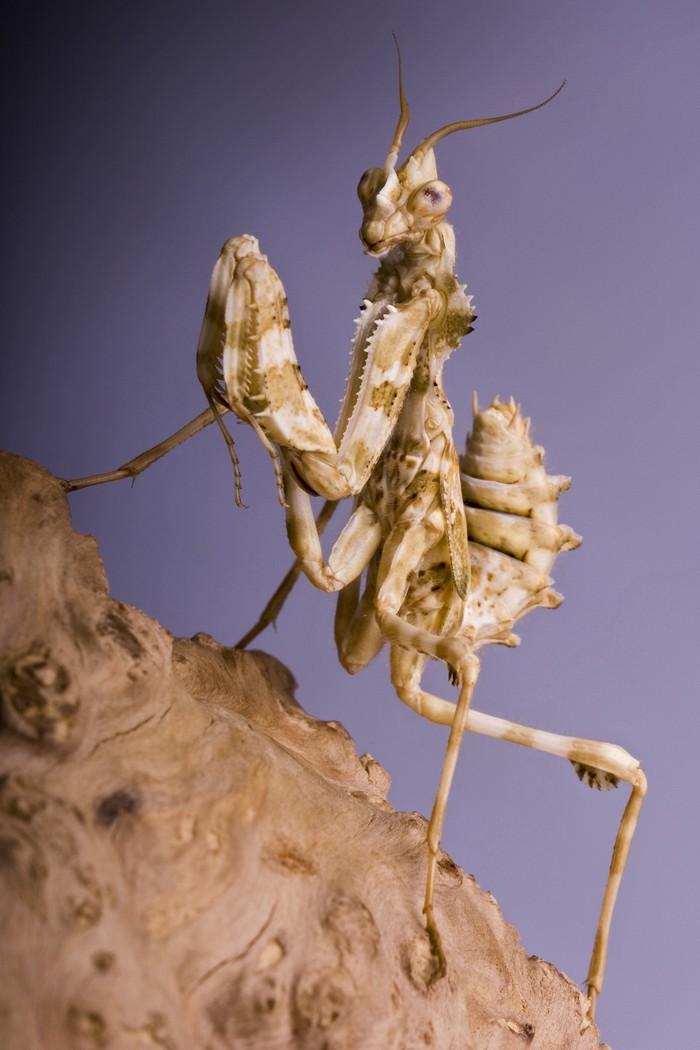 mantis10 Самые красивые богомолы