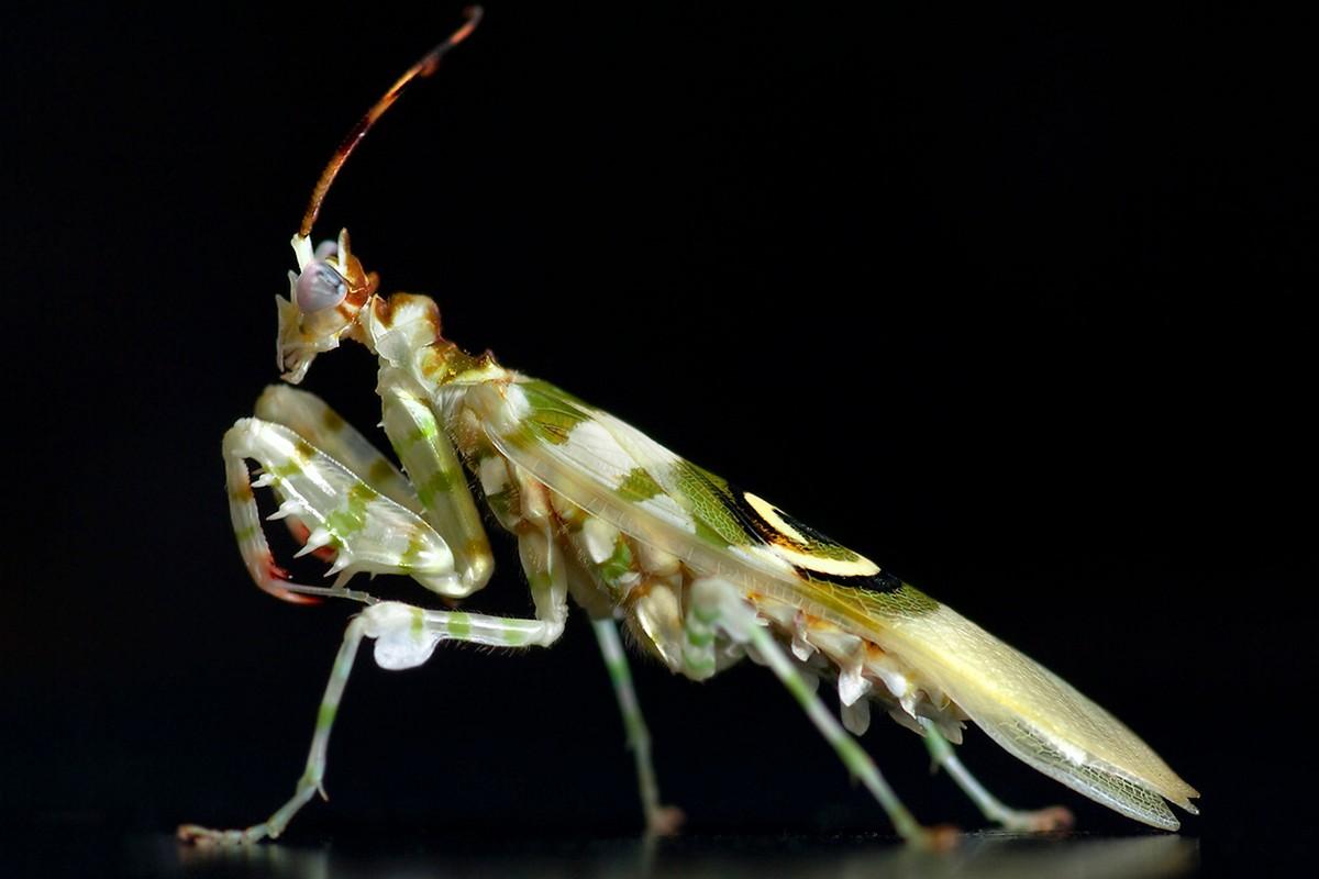mantis15 Самые красивые богомолы
