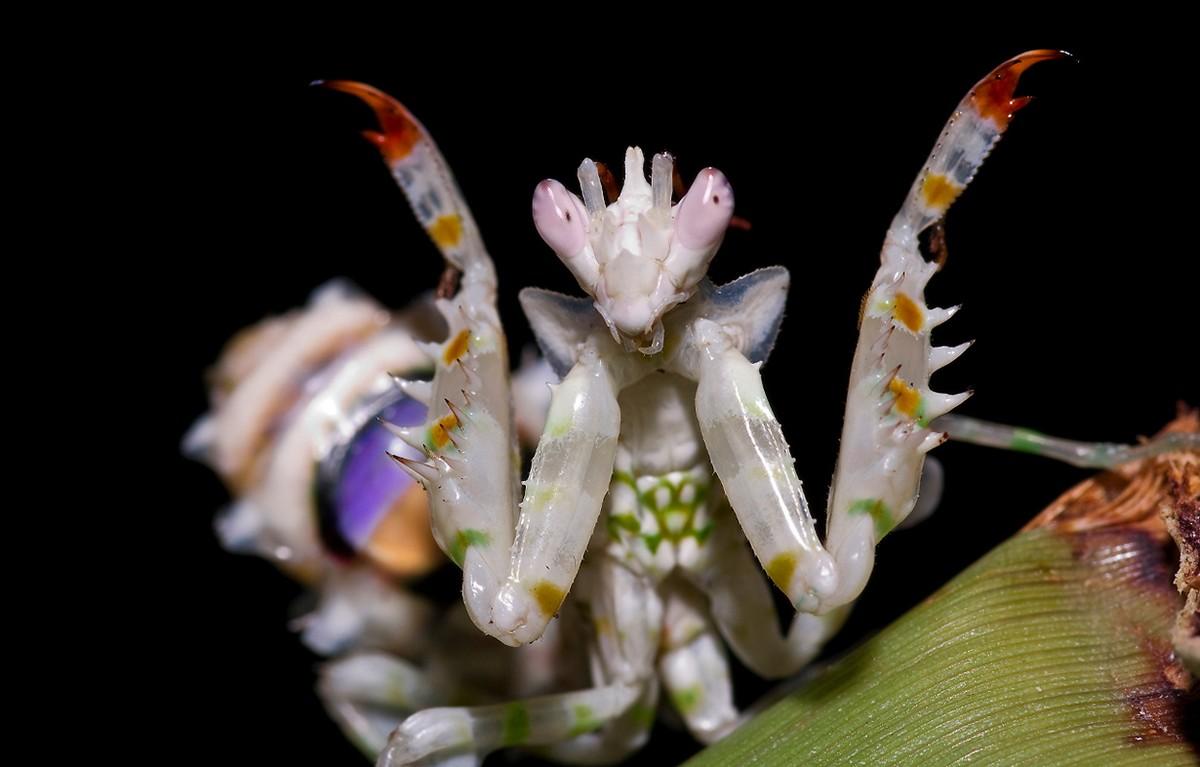 mantis16 Самые красивые богомолы