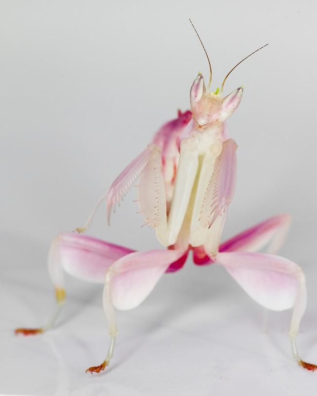 mantis18 Самые красивые богомолы