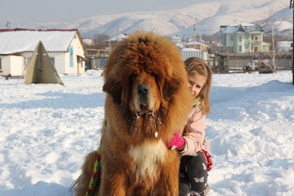 Gangsen05 Снежные львы: из Тибета в Казахстан