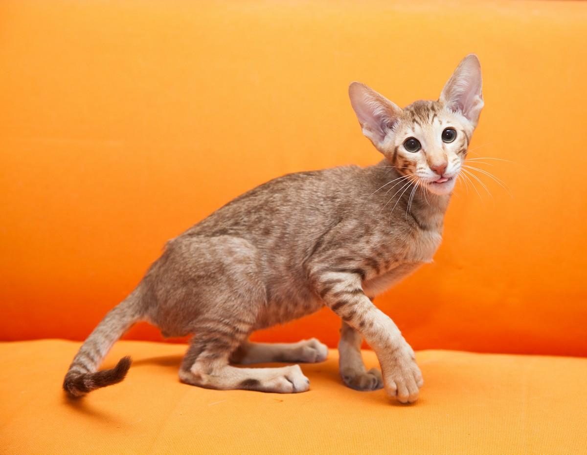 catbreeds03 Самые красивые породы кошек