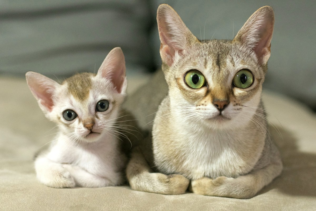 catbreeds04 Самые красивые породы кошек