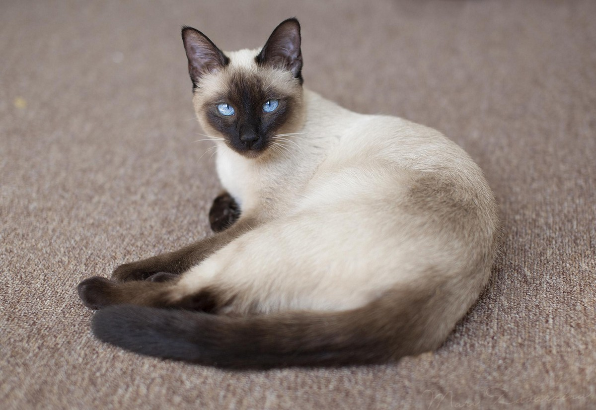 catbreeds05 Самые красивые породы кошек
