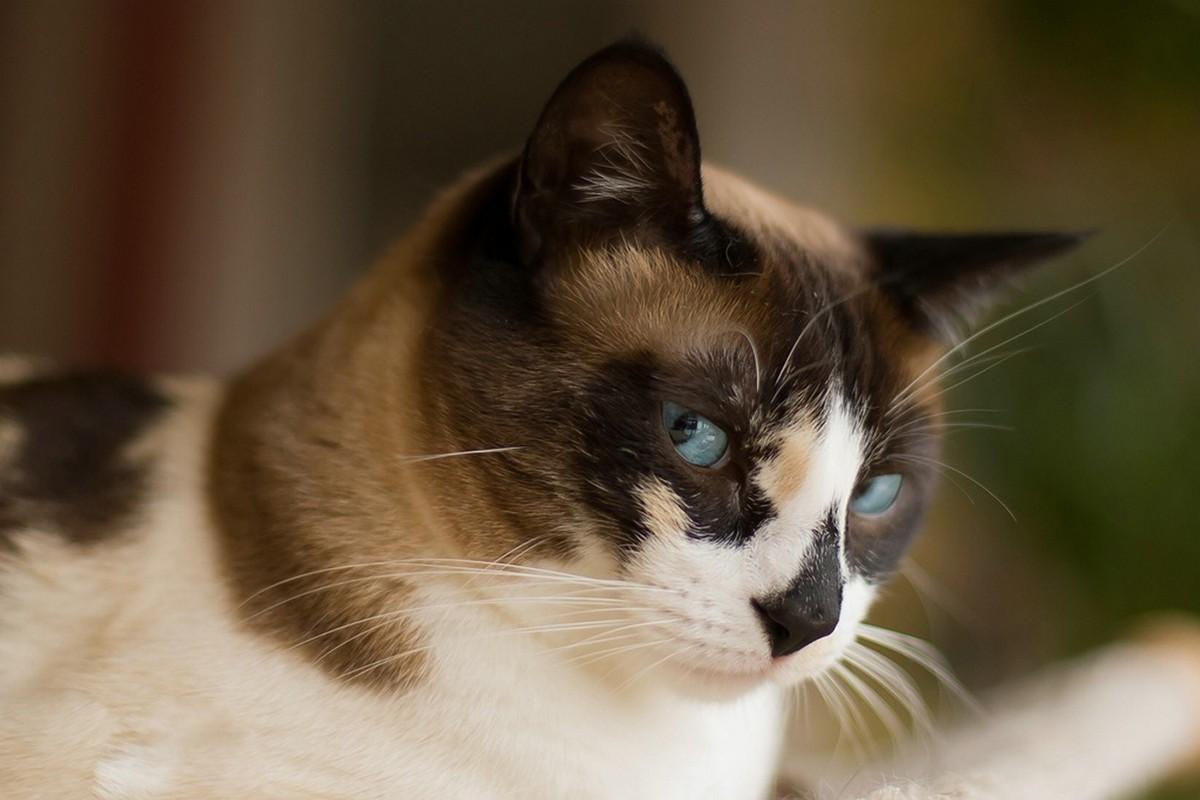 catbreeds06 Самые красивые породы кошек