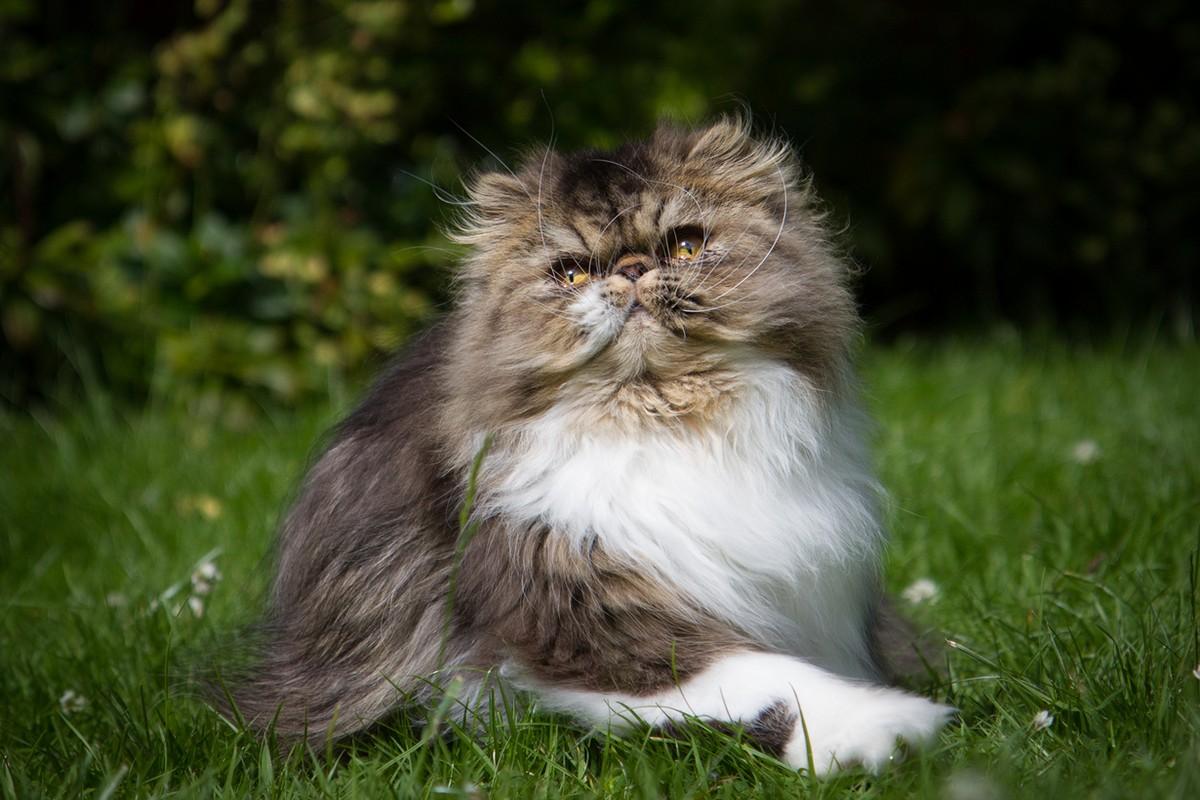 catbreeds07 Самые красивые породы кошек