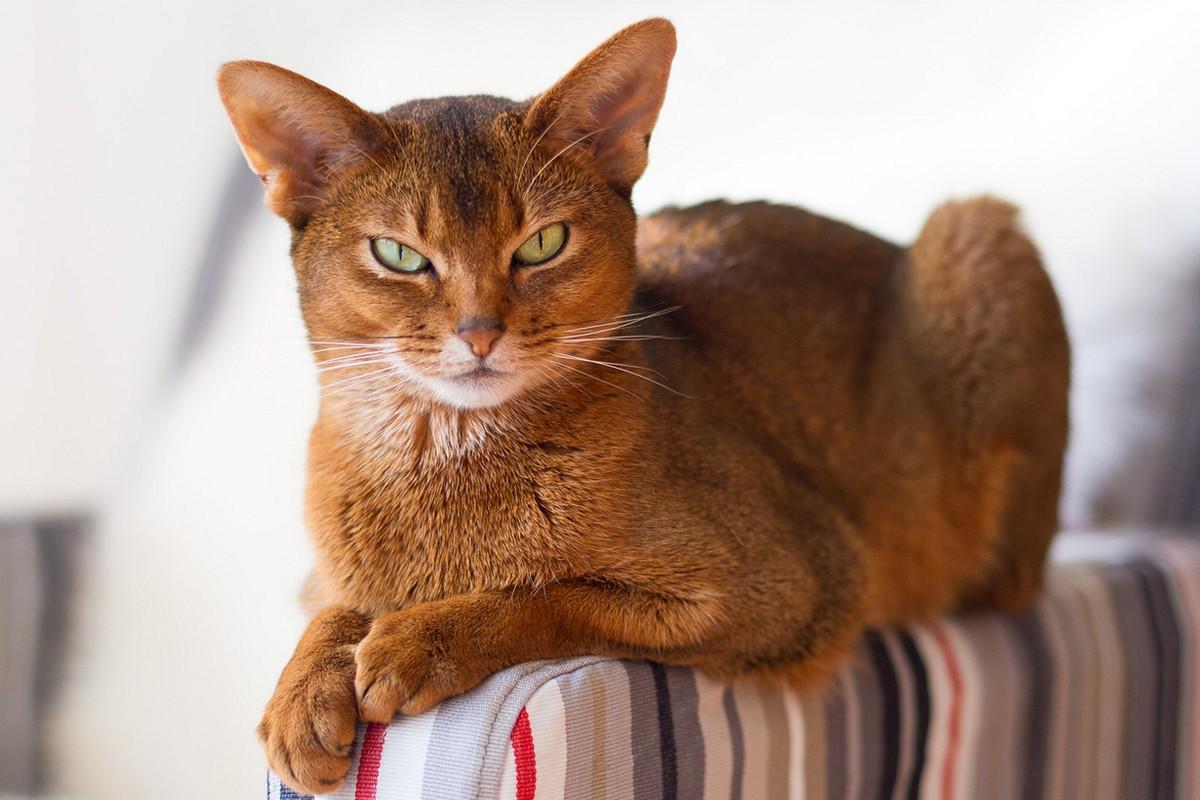 catbreeds08 Самые красивые породы кошек
