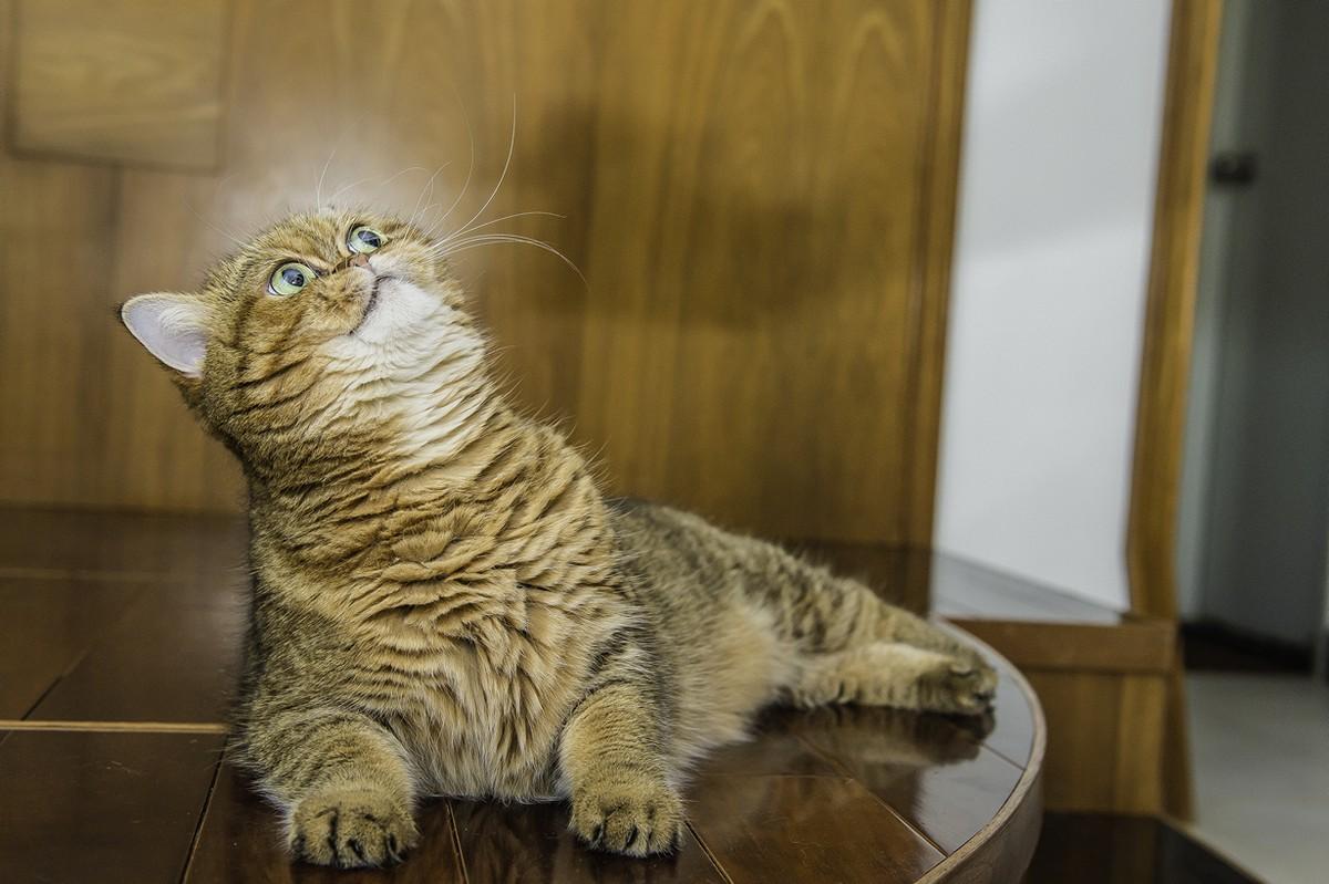 catbreeds09 Самые красивые породы кошек