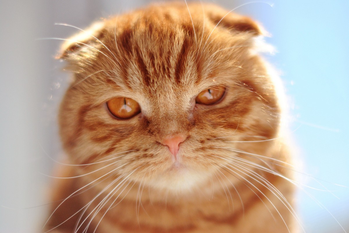 catbreeds10 Самые красивые породы кошек