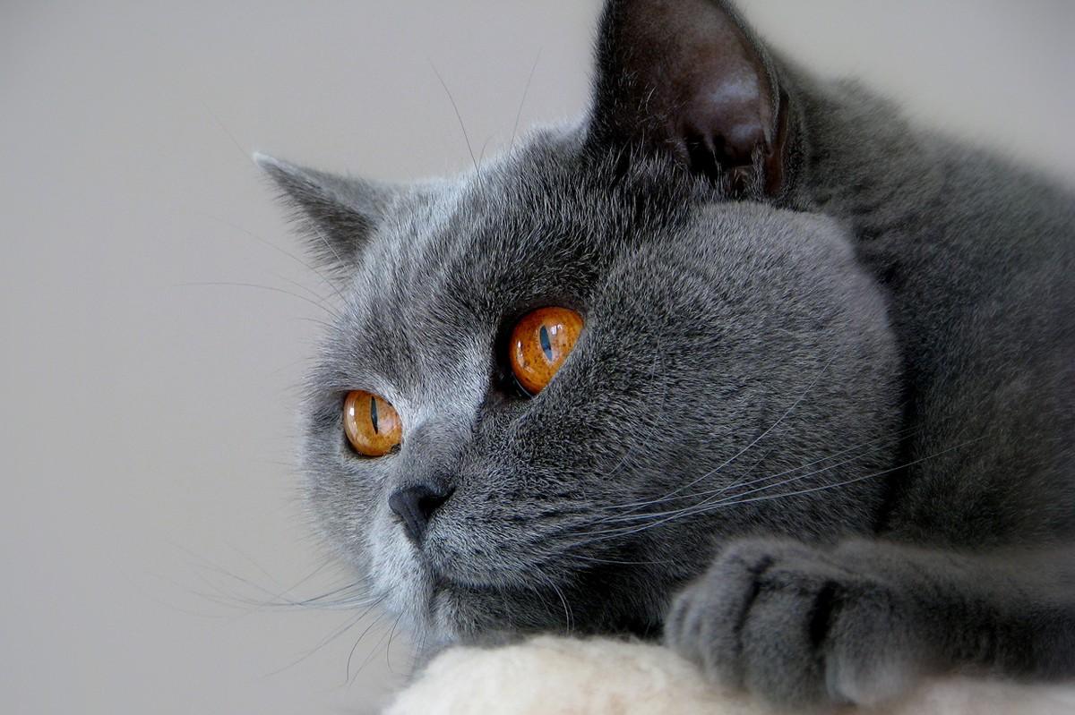 catbreeds11 Самые красивые породы кошек