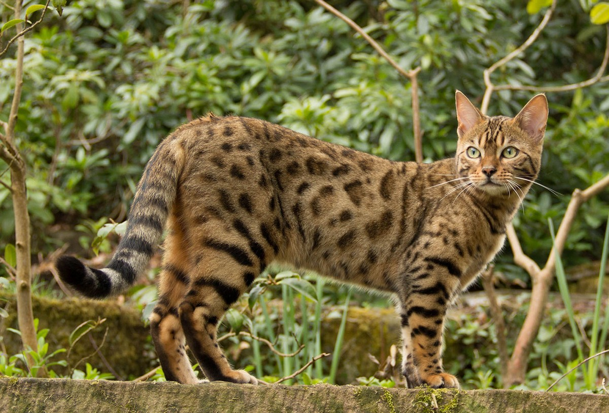 catbreeds12 Самые красивые породы кошек