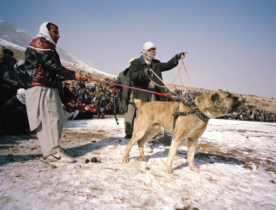 dogfight06 Азбука укуса: Шокирующие кадры собачьих боев