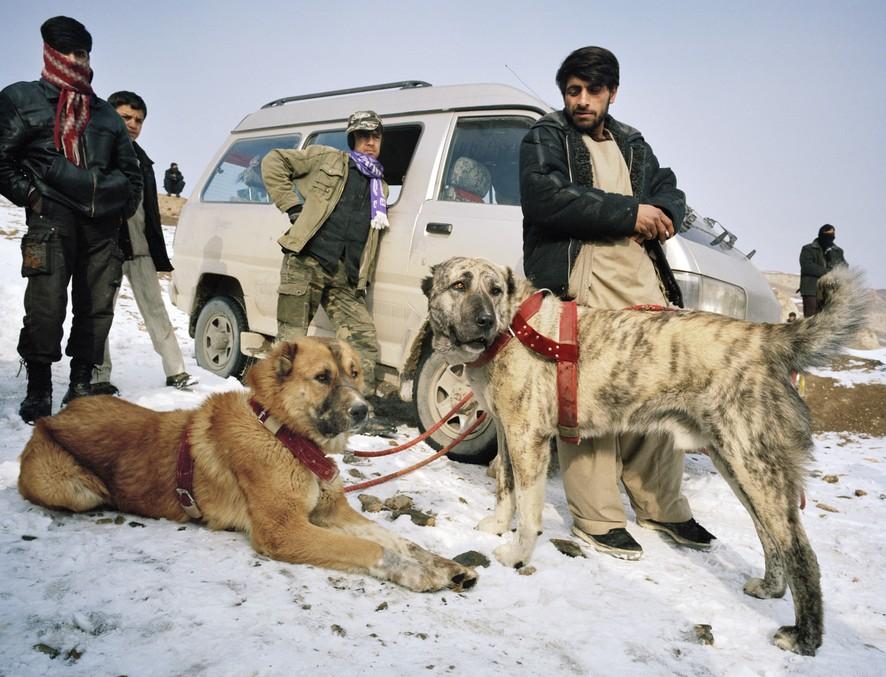 dogfight09 Азбука укуса: Шокирующие кадры собачьих боев