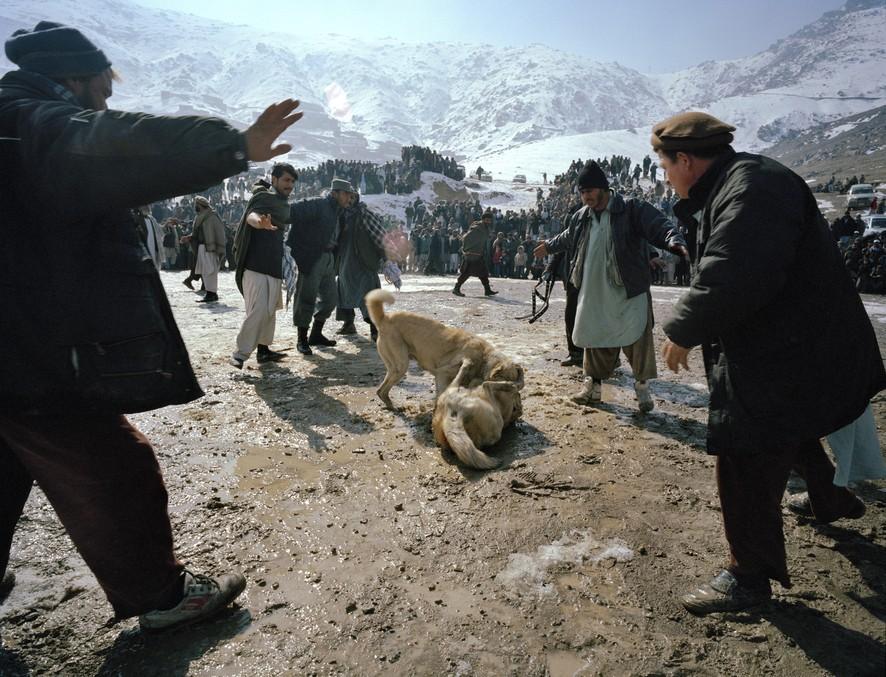 dogfight10 Азбука укуса: Шокирующие кадры собачьих боев