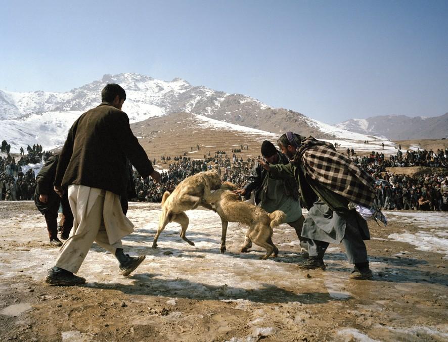 dogfight18 Азбука укуса: Шокирующие кадры собачьих боев