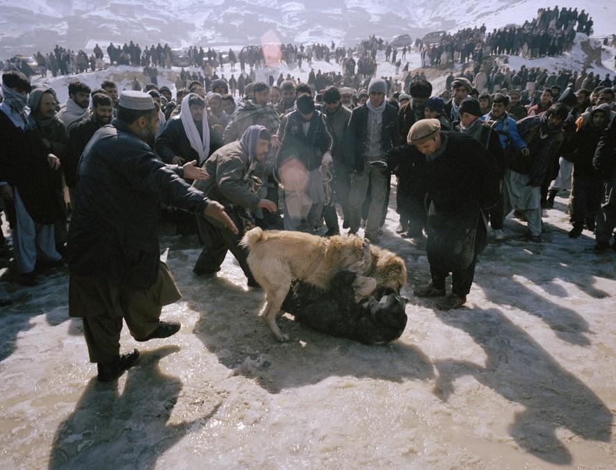 dogfight20 Азбука укуса: Шокирующие кадры собачьих боев