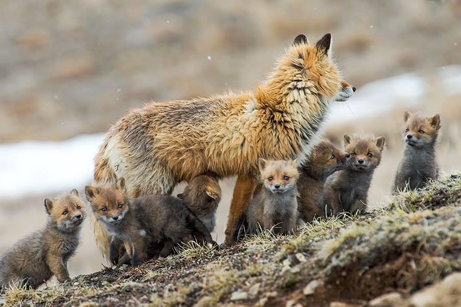 foxesbyKislov02 Горный инженер с Чукотки фотографирует лис