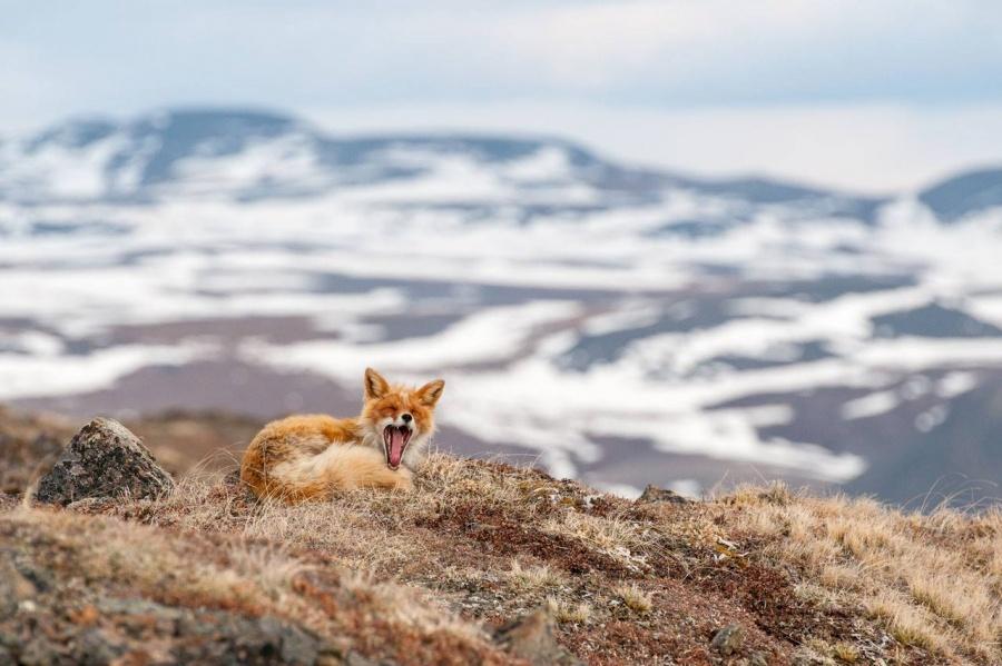 foxesbyKislov06 Горный инженер с Чукотки фотографирует лис