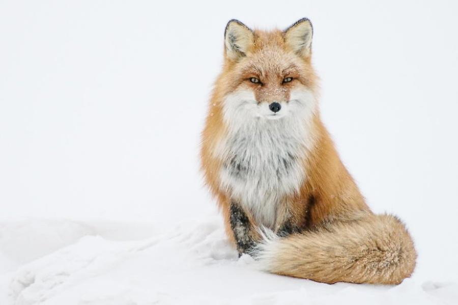 foxesbyKislov08 Горный инженер с Чукотки фотографирует лис