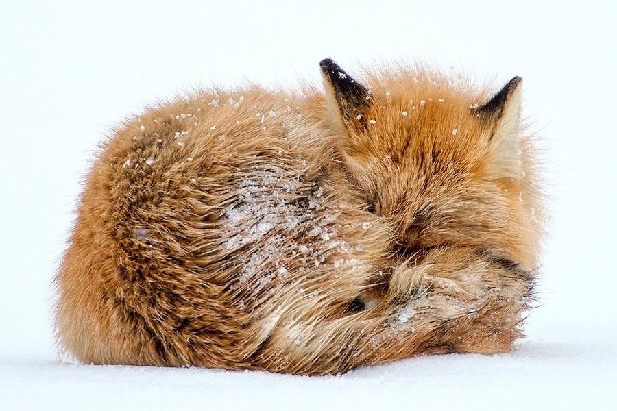 foxesbyKislov10 Горный инженер с Чукотки фотографирует лис