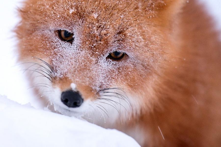 foxesbyKislov12 Горный инженер с Чукотки фотографирует лис