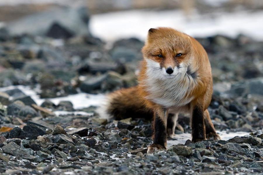 foxesbyKislov14 Горный инженер с Чукотки фотографирует лис
