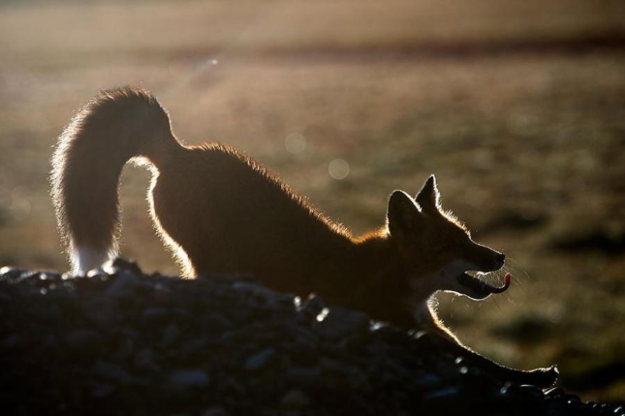 foxesbyKislov18 Горный инженер с Чукотки фотографирует лис