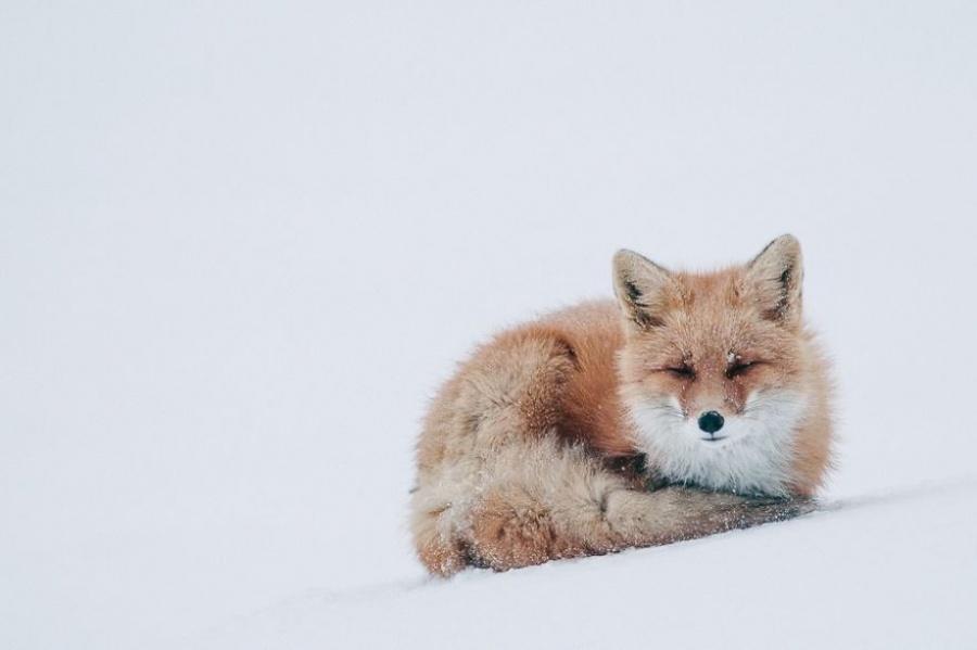 foxesbyKislov20 Горный инженер с Чукотки фотографирует лис