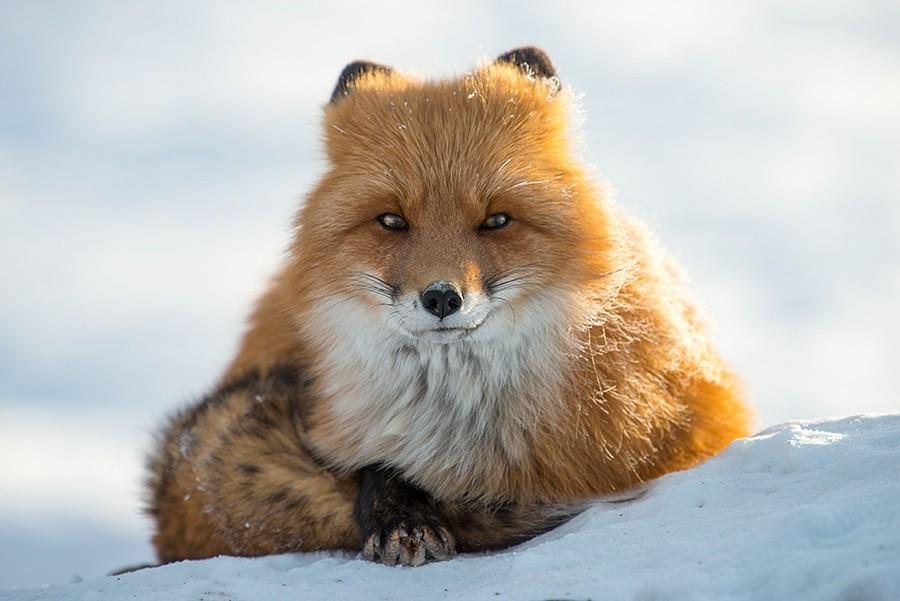 foxesbyKislov24 Горный инженер с Чукотки фотографирует лис