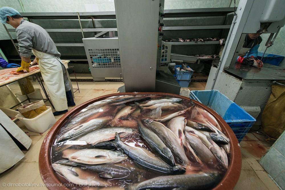 Fishplant10 Как работает рыбный завод в Магадане