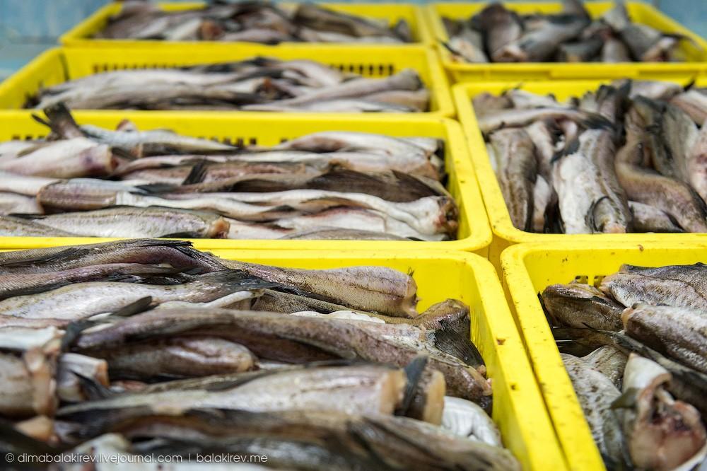 Fishplant11 Как работает рыбный завод в Магадане