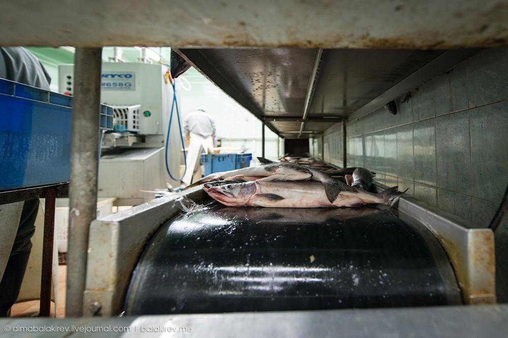 Fishplant12 Как работает рыбный завод в Магадане