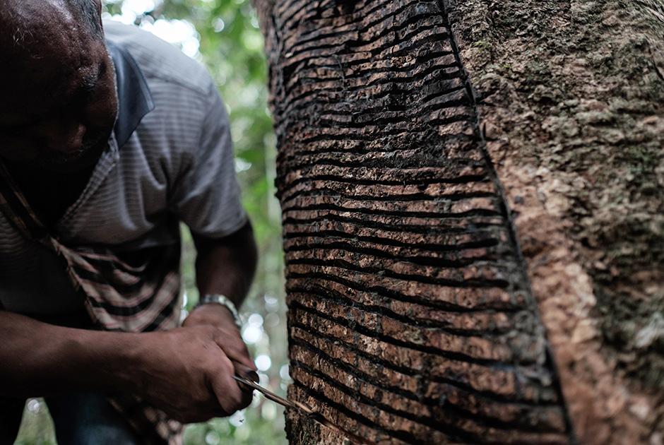 Как в Бразилии добывают каучук и делают из него презервативы