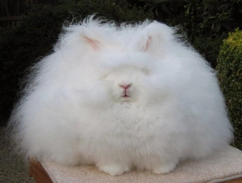 angorarabbit05 Ангорский кролик — самый пушистый в мире