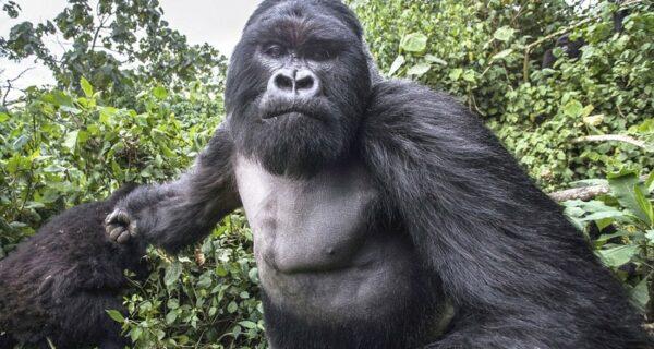 Доказательство того, что пьяные гориллы ведут себя не лучше пьяных людей