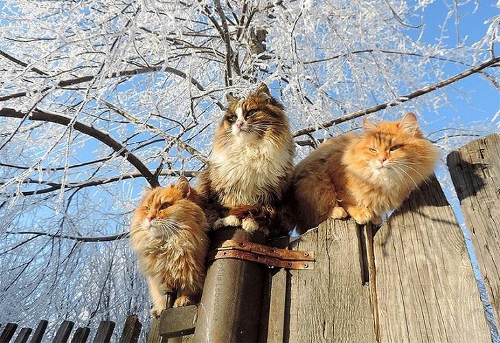 Siberian Cats photo Alla Lebedeva16 ��������� ������� ����� ��� ���������