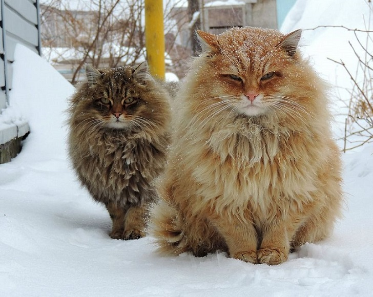 Siberian Cats_photo Alla Lebedeva7