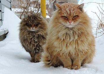 Siberian Cats_photo Alla Lebedeva_min