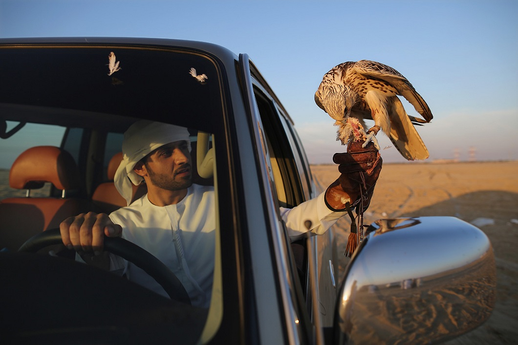 sokolinaya oxota v oae 11 Соколиная охота в Арабских Эмиратах