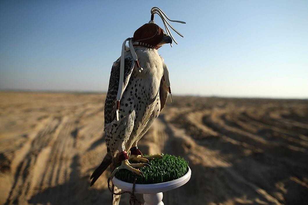 sokolinaya oxota v oae 3 Соколиная охота в Арабских Эмиратах