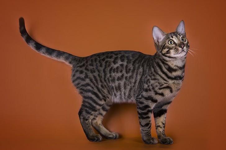 bestcats02 10 самых правильных пород кошек