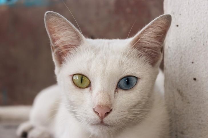 bestcats03 10 самых правильных пород кошек
